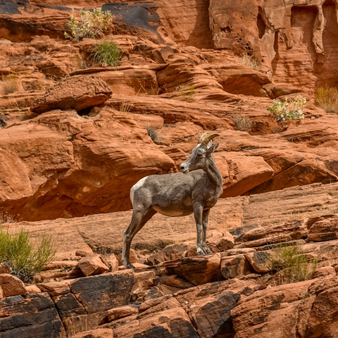 valley of fire bighorn 001 480 480